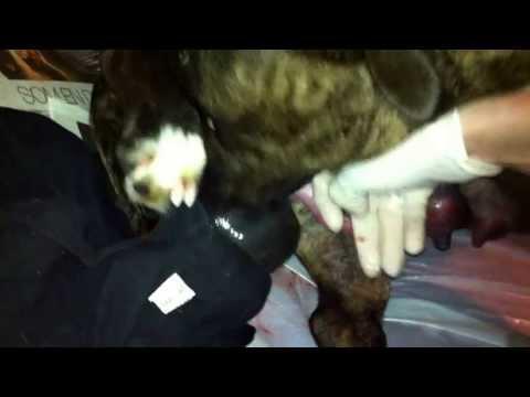 Pitbull giving birth to blue puppy [HD]