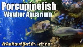 Porcupinefish, Waghor Aquarium