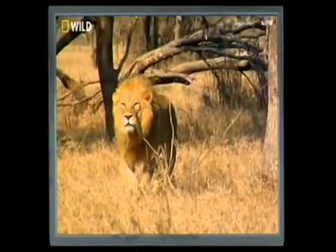 Lion Vs Cheetah   Male lion kills 2 cheetahs