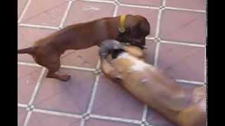 Pitbull Uma Fight Pelea De Perros