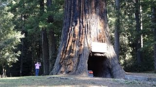 Drive-Thru Redwood Tree World Famous Chandelier Tree Forest Leggett California CA National Park 101