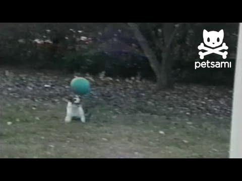 Circus dog balances ball on his head