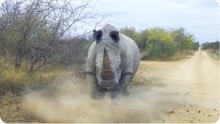 Rhino CHARGES and Attacks Car | Kruger National Park