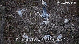 動画:アオサギ、巣作り始まる 秋田市新屋町