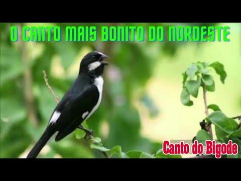 O CANTO DO BIGODINHO 2 DONO JOCELHO
