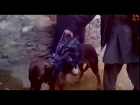 Afghan Taliban show off captured British military dog