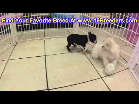 Boston Terrier, Puppies, For, Sale, In, Boise City, Idaho, ID, Rexburg, Post Falls, Lewiston, Twin F