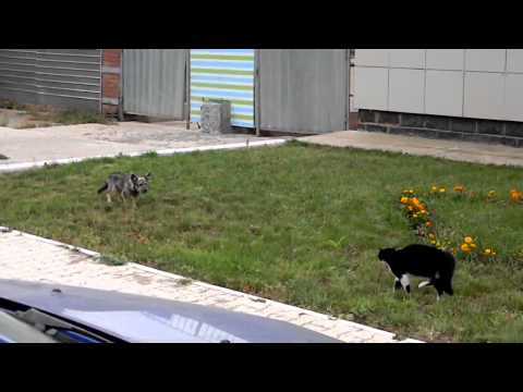 Cat Chasing Small Dog