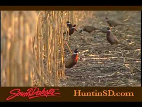 Pheasant hunting in south dakota youtube for South dakota out of state fishing license