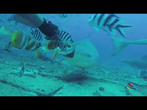 Bull Shark feeding at The Bistro, Fiji (Ultimate Shark Encounter, Aqua Trek)