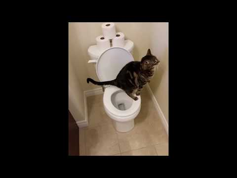 cat using toilet how to train