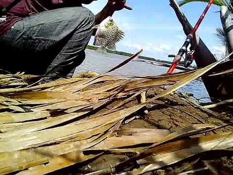 Mancing ikan kiper dengan umpan udang kupas segar