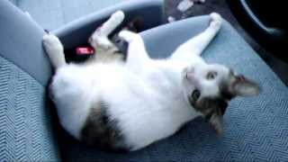 車の中に猫が入って寝ている