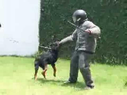 CKA-Canil - Treinamento de Ataque com Cães