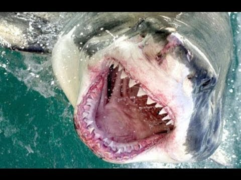 Huge Marlin Destroyed By Great White Shark Dead Meat