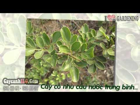 Hình Ảnh Cây Cần Thăng Bonsai Gốc Lớn  70cm