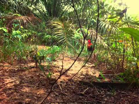 pikat ayam hutan MUSTANG GT350