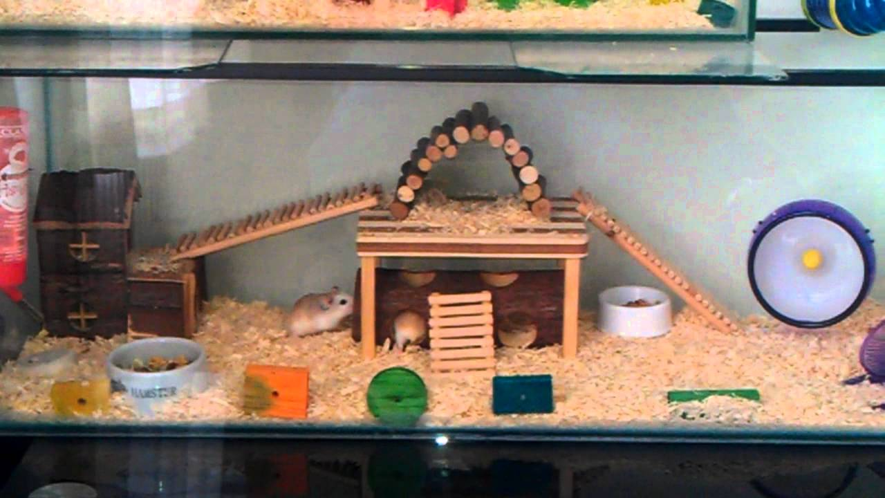 roborovski dwarf hamster huge habitat glass tank youtube