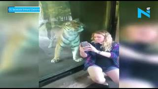 On cam a heartfelt video: Tiger nuzzles up a pregnant woma..