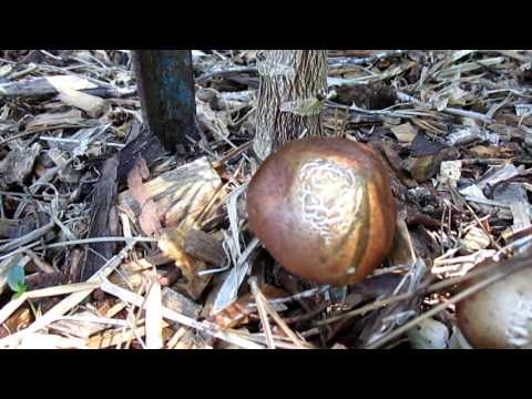 Should You Water Your Edible Mushroom Patch? King Stropharia aka Wine Cap Q & A