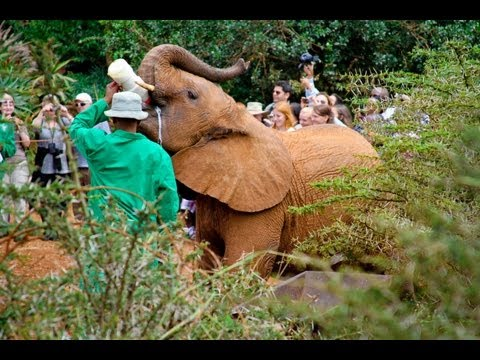 African Elephants - Sheldrick Elephant Orphanage (HD)