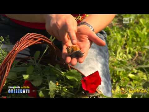 Allevamento di lumache- La Lumaca Tobia (Viterbo)...Rai 1 Linea Verde Puntata del 16/08/2014