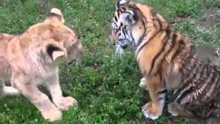 Cachorritos de león y tigre peleando