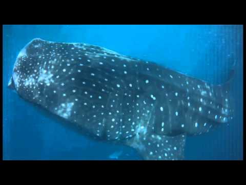 tubarão baleia - Cancun (isla cotoy) - México