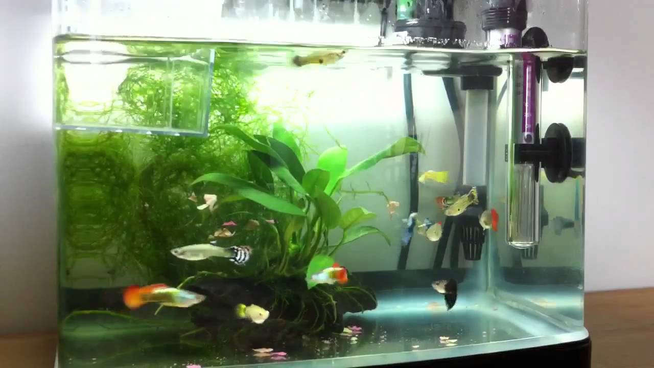 guppy breeding tank - My Guppy Tank Setup YouTube 2017 - Fish Tank Maintenance