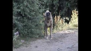 Dog Fight Kurdish Kangal German Shepherd Pitbull Terrier