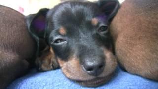 Dachshund Cute 6 Week Old Puppies