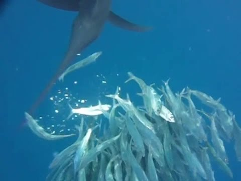 Atlantic Sailfish Hunting Sardines (Normal & Slow Motion Attacks)