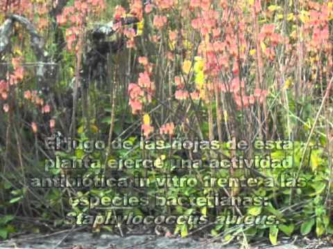 Kalanchoe pinnata (Lam.) Pers,.mp4