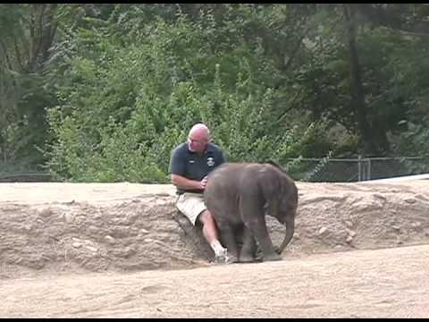 Bebé elefante senta-se ao colo do tratador | Baby Elephant Sits on Keeper's Lap
