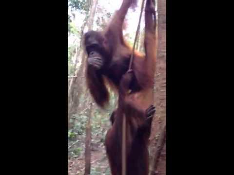 Orangutan awareness
