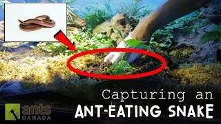 CAPTURING AN ANT-EATING SNAKE!