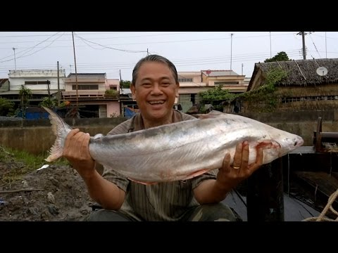 Câu Cá Bông Lau Cửa Sông Định An Ngày 22/10/2014.