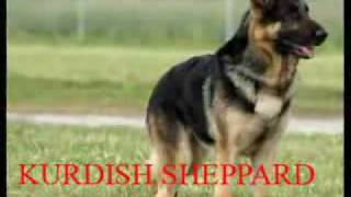 German Shepherd Dog K9 Vs.Kurdish KANGAL Dog Fight