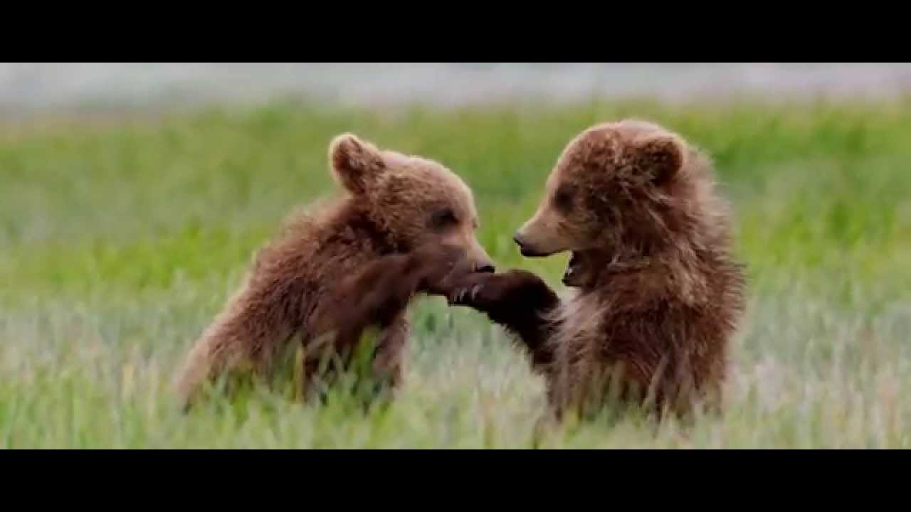 Disneynature's Bears Now Playing in Theatres