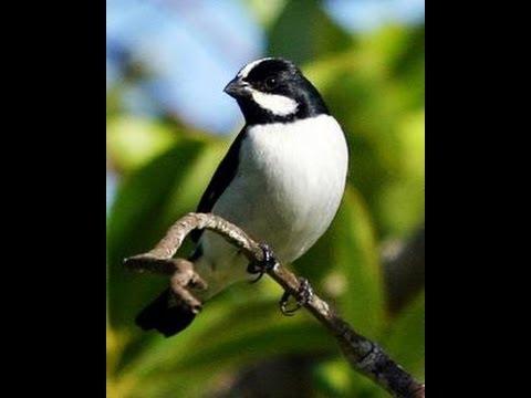 Canto Do Bigodinho -  Pássaros Do Brasil