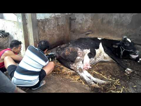 Detik-detik sapi melahirkan
