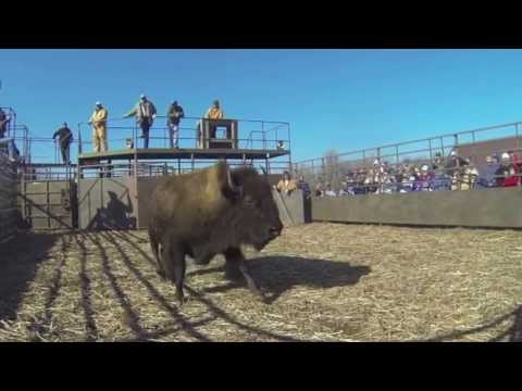 Buffalo Auction 2013