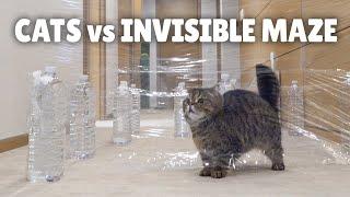 Gatos en un laberinto transparente
