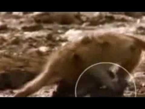 Timsah maymunun kafasını kaparsa )   komik videolar   hayvanlar alemi