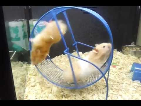funny hamsters at petsmart   youtube