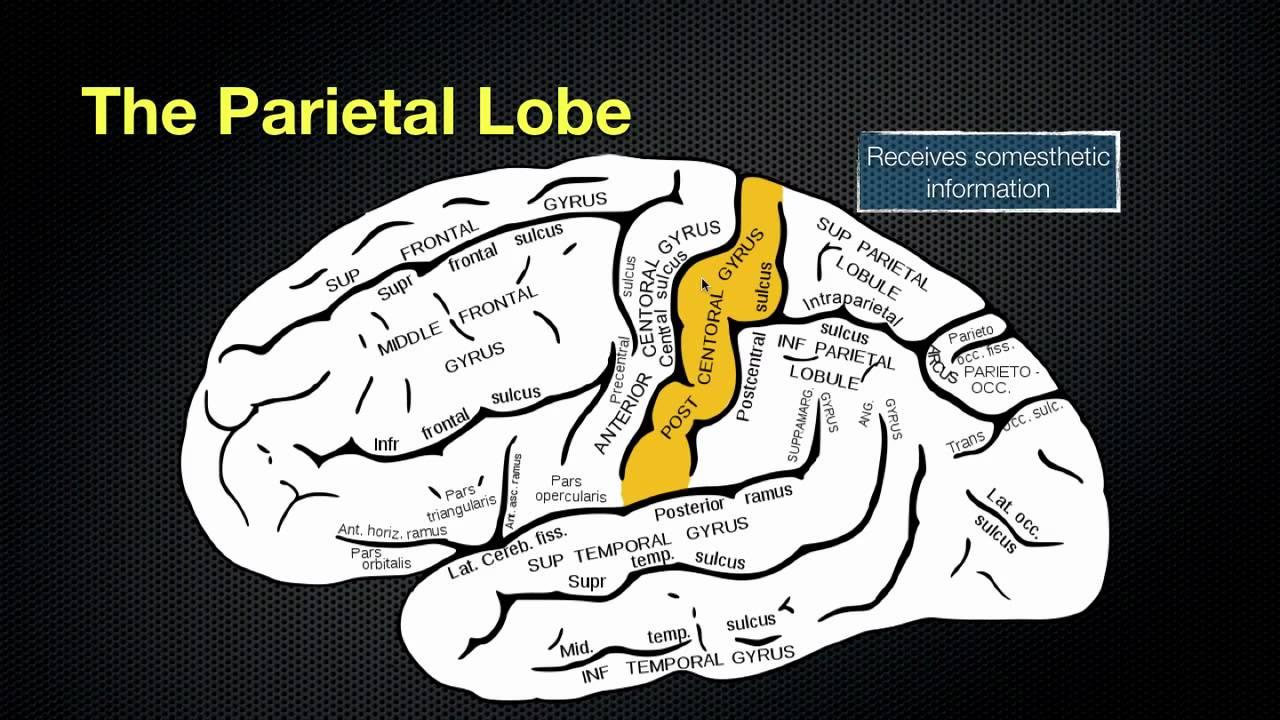 Anatomy of parietal lobe