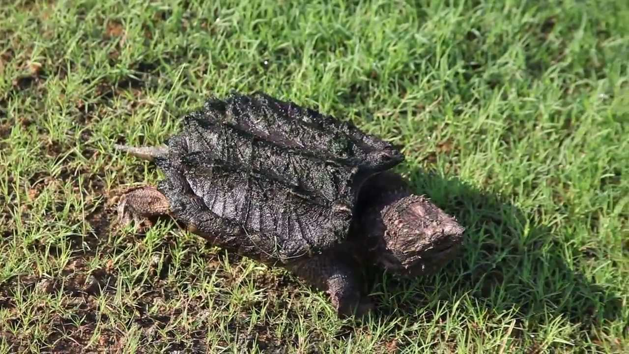 Snapping Turtle Bites Dog
