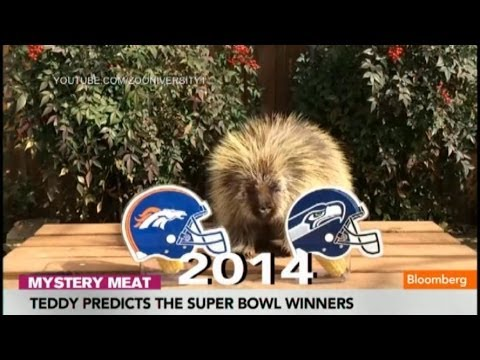 Teddy the Porcupine Predicts the Super Bowl Winners