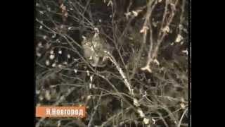 Menyelamatkan kucing yang terjebak di atas pohon - Rusia