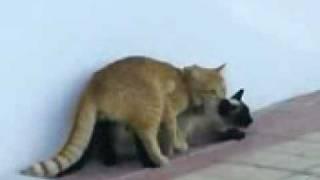 Gatos Copulando